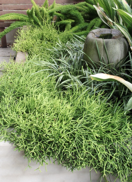 great as a ground cover. image source gardendrum.com