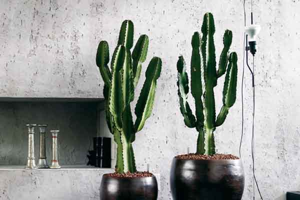 Plant Of The Month The Euphorbia Cowboy Adam