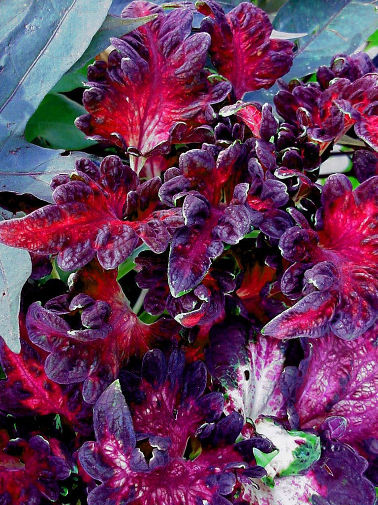 COLEUS_BLACK_DRAGON_1024x1024.jpg