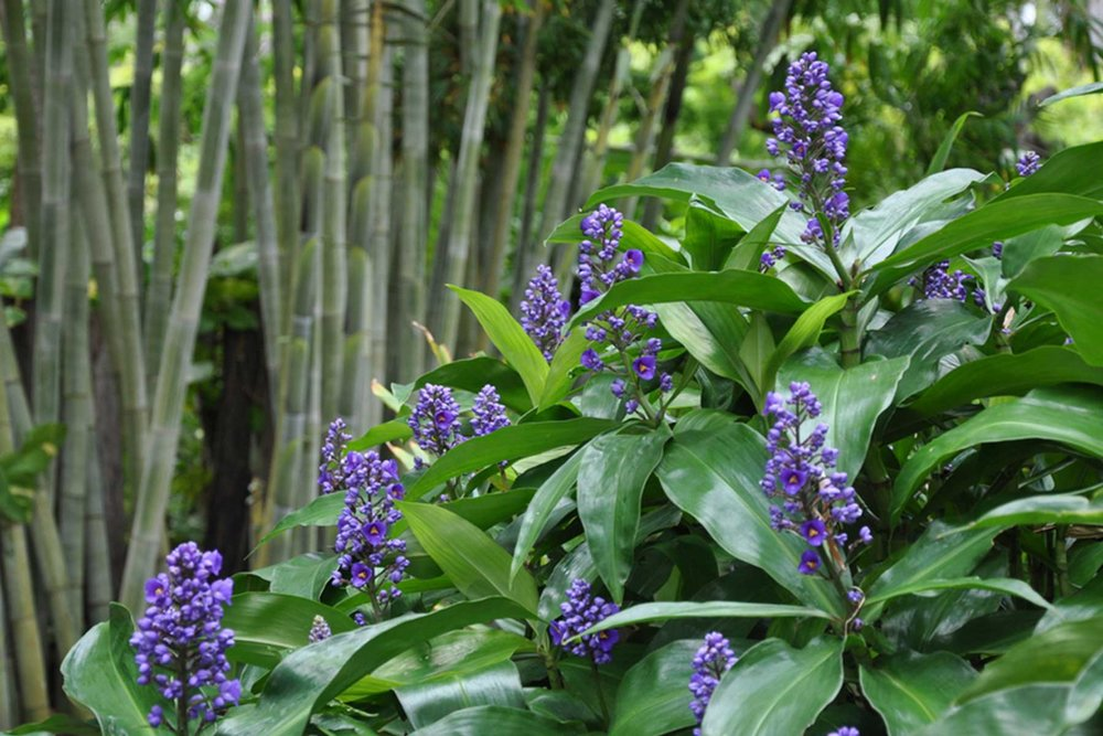 Adam Robinson Design Sydney Plant of The Month Dichorisandra thyrsiflora Blue Ginger.jpg