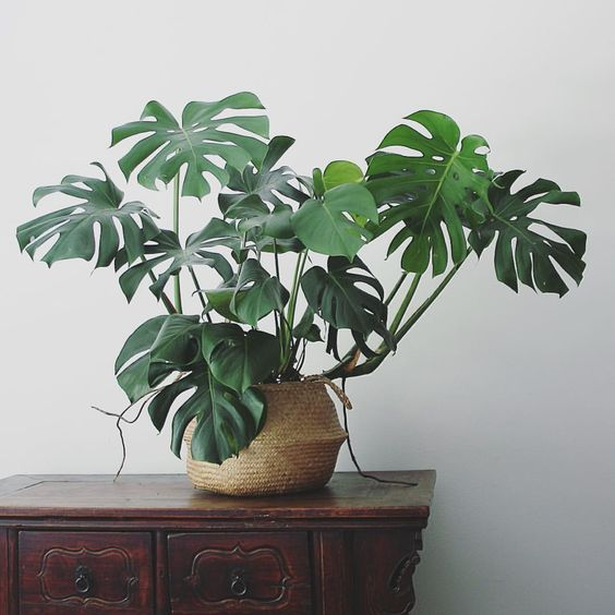 Decorating Dilemma House Plants: Adam Robinson Design