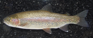 www.nsrwa.org/nsrwa-events/water-watch-lecture-the-quest-for-the-golden-trout/