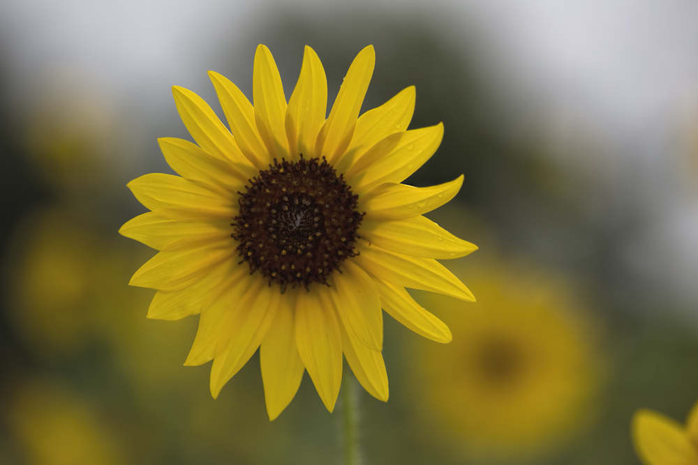 sunflowerII.jpg