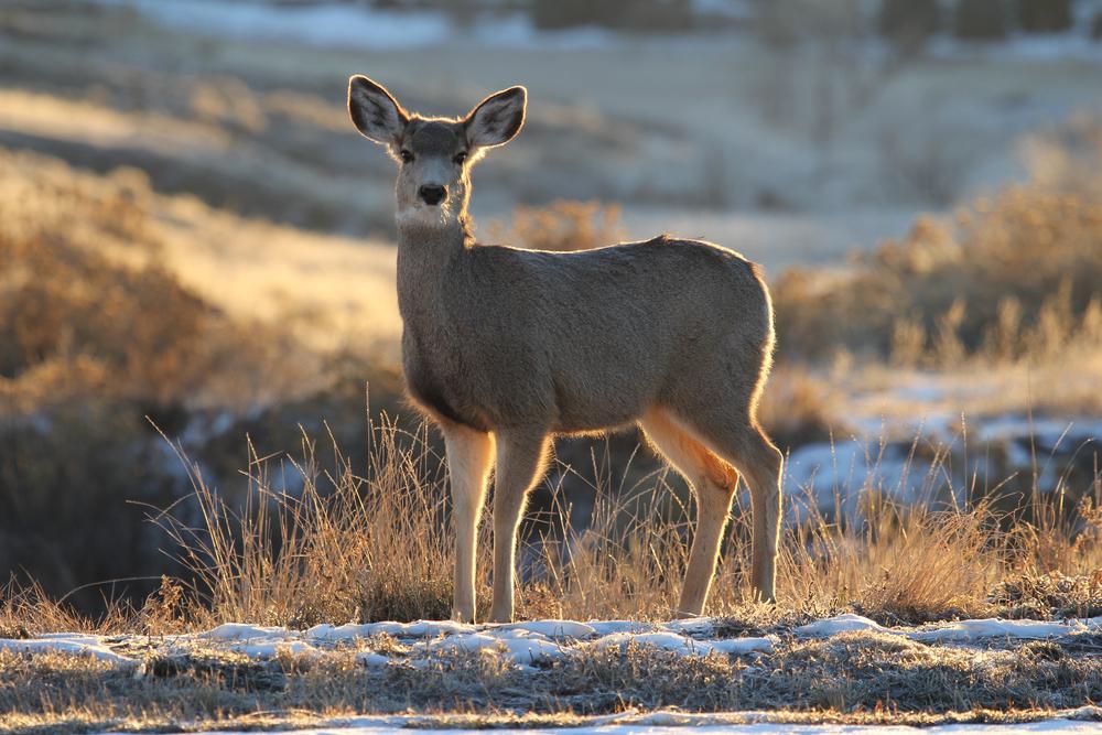 20130105 BVF mule deer (20).jpg