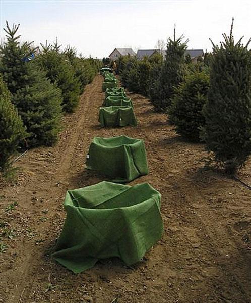 colorado blue spruce—ready to ball & burlap