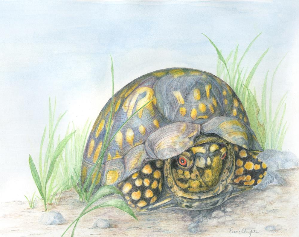 """Box Turtle """"Leo"""""""