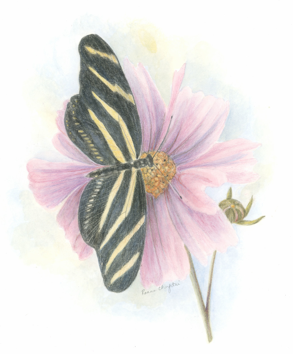 Zebra Butterfly on a Cosmos