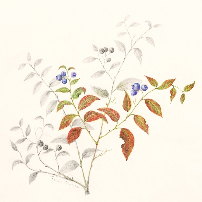 Lowbush blueberry