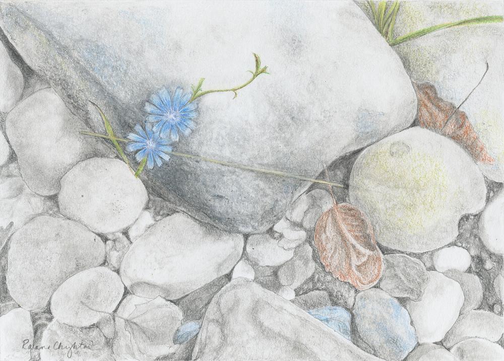Chicory on Rocks