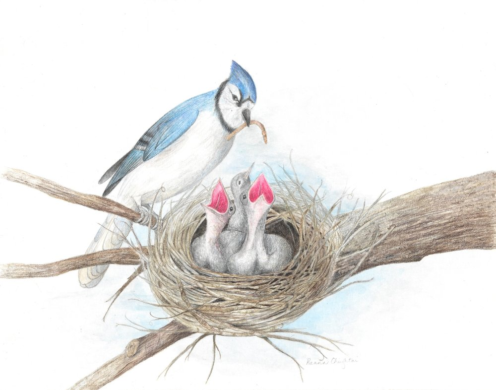 Blue Jay and Babies