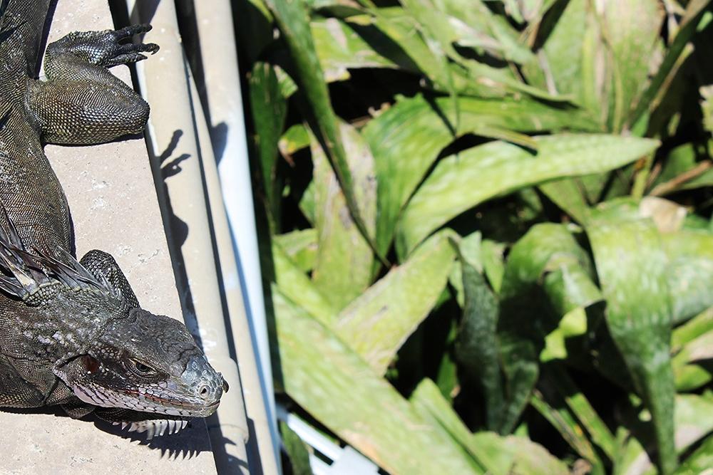 Iguanas everywhere.