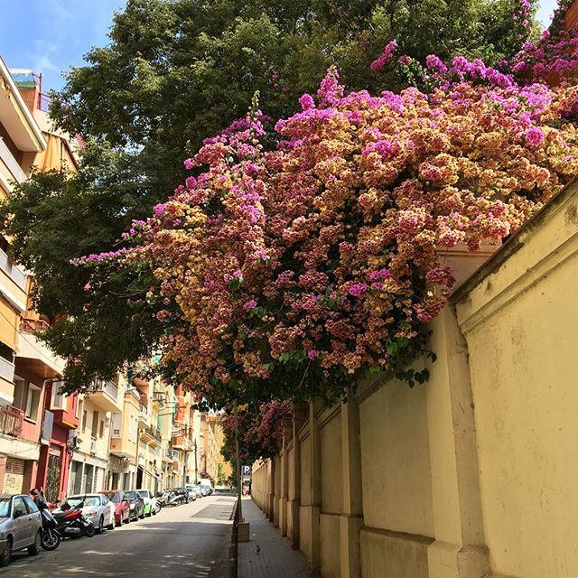 Flores rosadas on a beautiful, hot day in Barcelona.