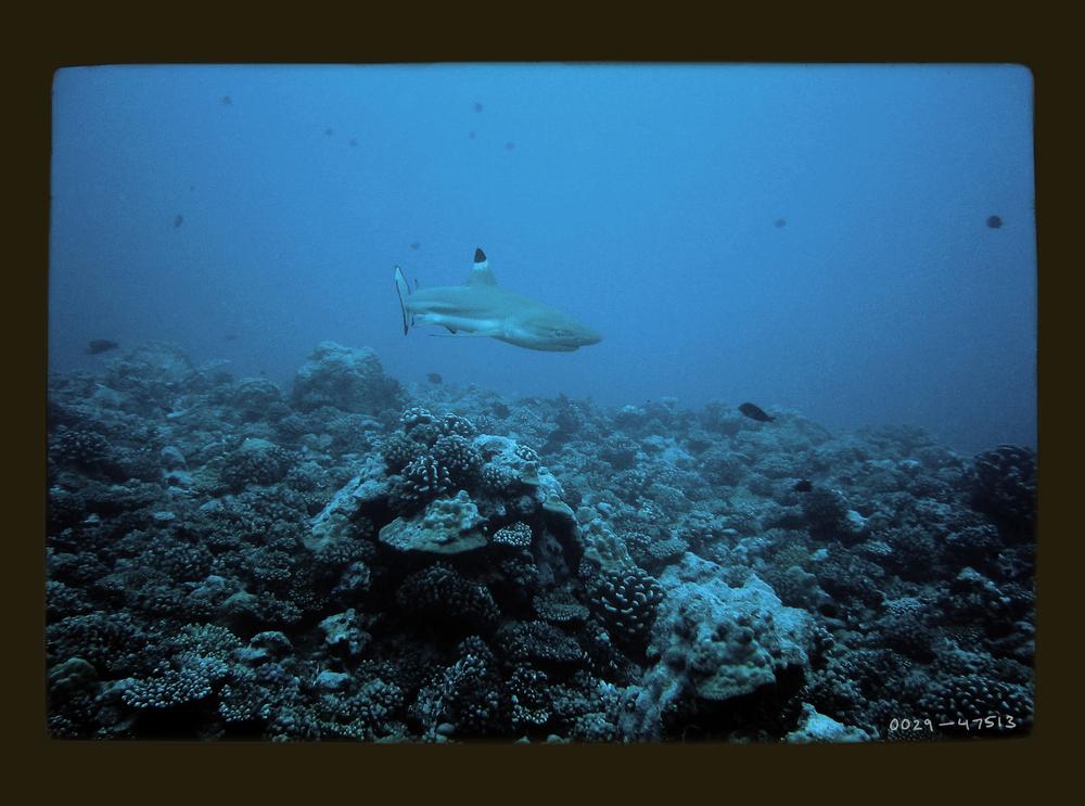 reefshark.jpg