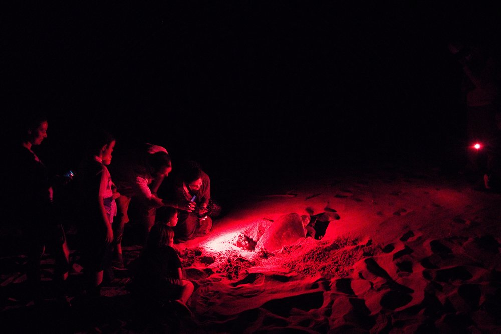 Our group watches an olive ridley sea turtle lay eggs on the beach at La Flor Refuge. Photo by Michael Mundt.