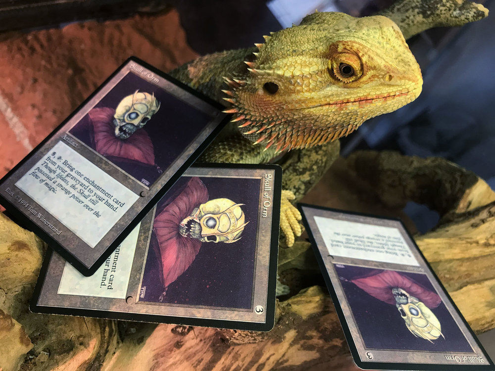 Gordon's Bearded Dragon - It is of course named Shivan