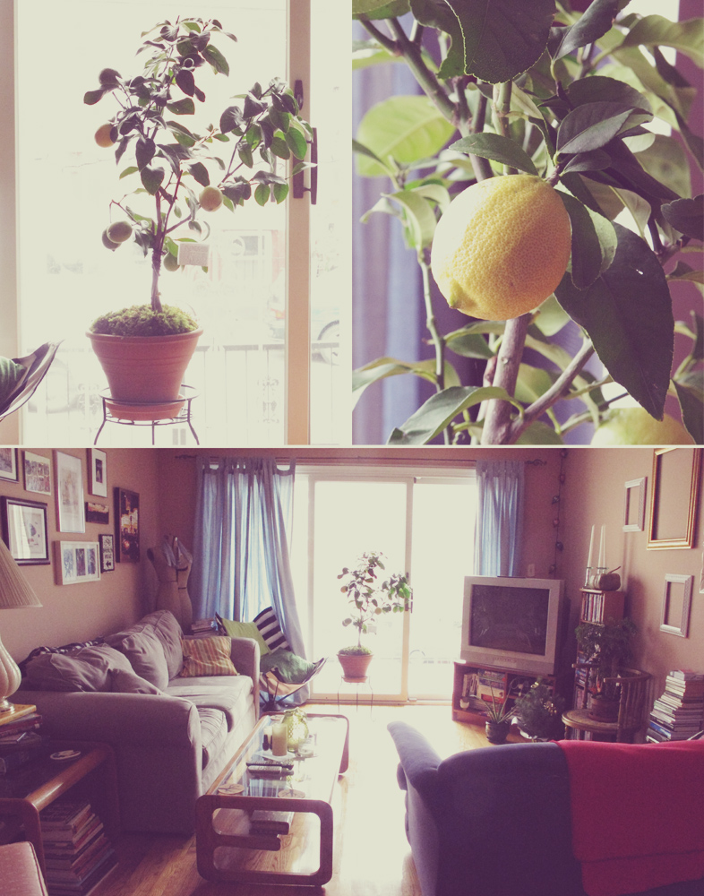 Our baby lemon tree is thriving!