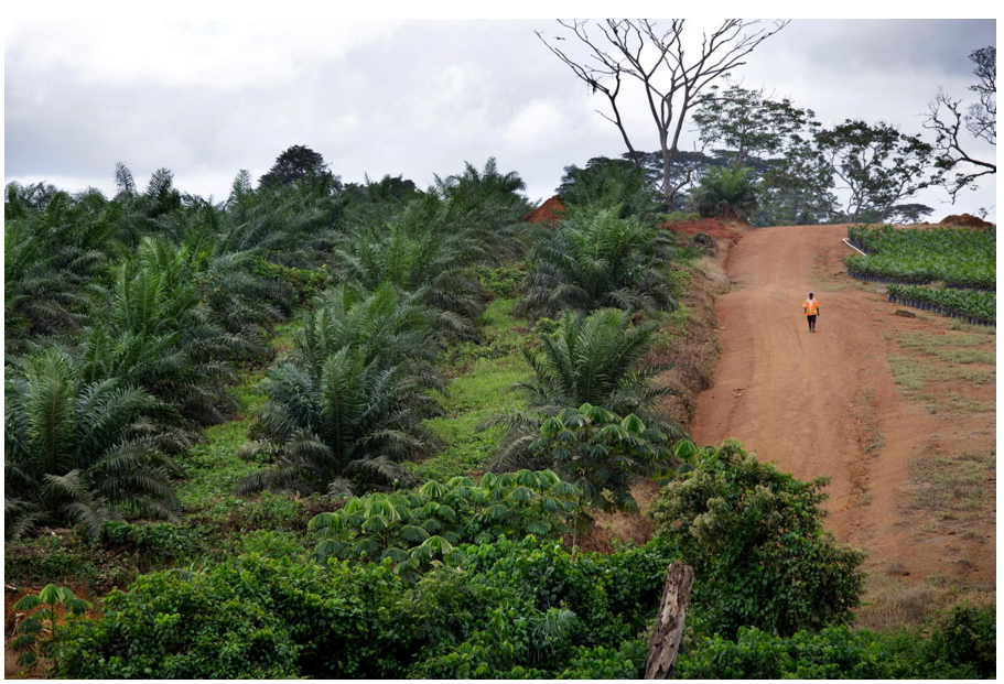 A palm tree nursery operated by Golden Veroleum Liberia in Butaw. Photo by Kuni Takahashi.