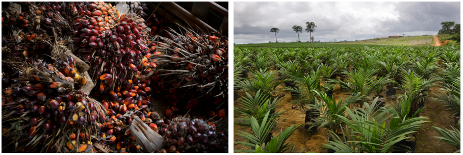 Naturally grown palm seeds on the vine after harvest, left. Adolsecent plants at the Golden Veroleum Liberia nursery, right.  Photos by Kuni Takahashi.