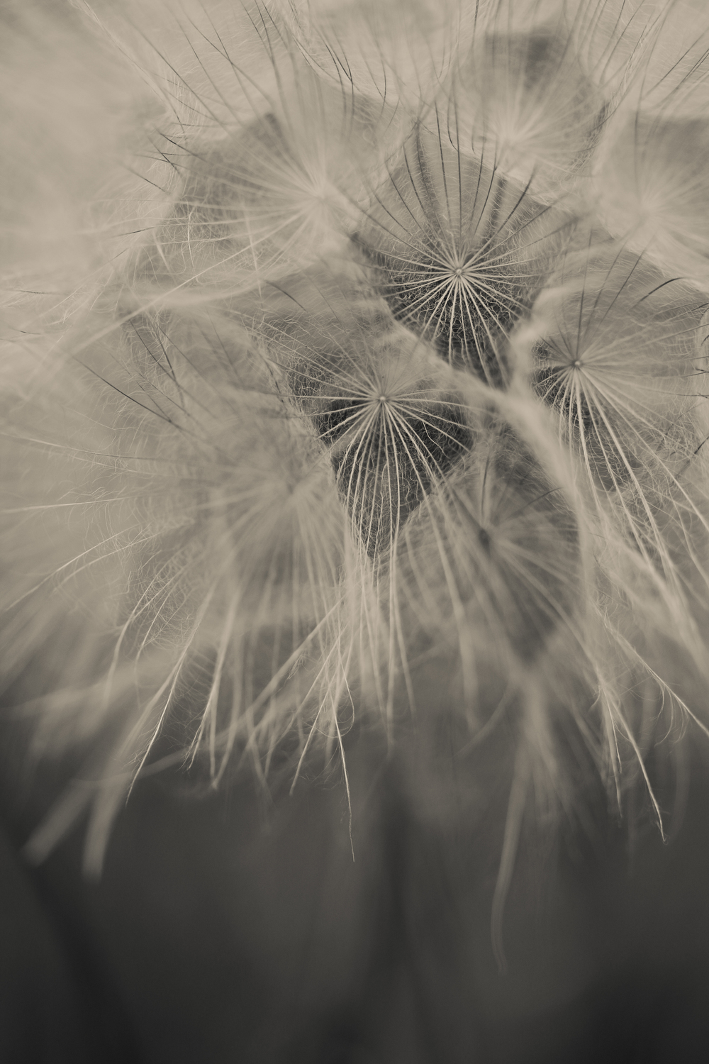 Dandelions really might be my new favorite flower to photograph. I'm obsessed.