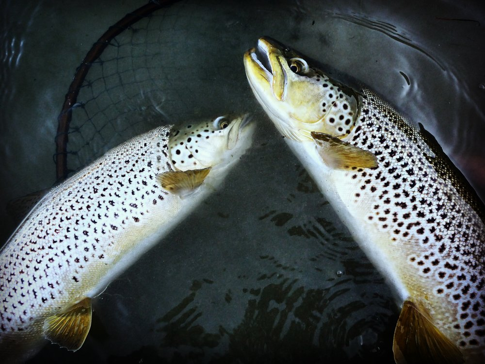 Double brown trout