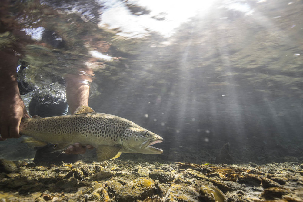 Underwater brown trout New Zealand