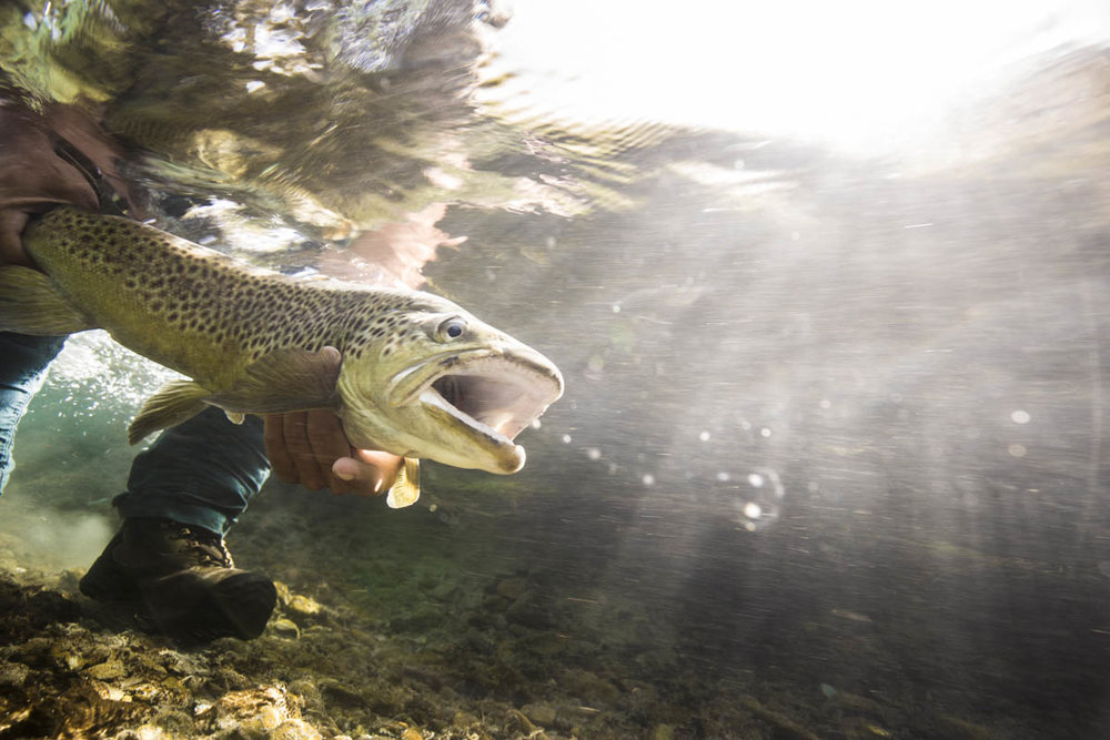 Under water New Zealand brown trout by Hollis Bennett