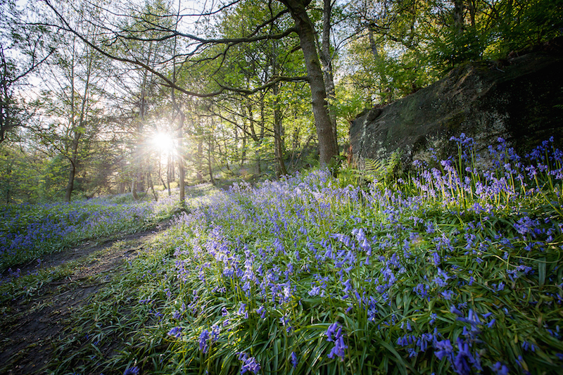 Bluebells in Hardcastle Crags