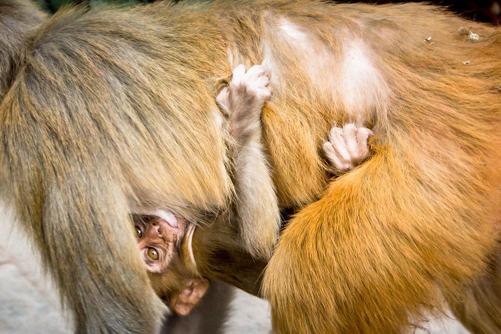 Monkey Temple Monkeys-2.jpg