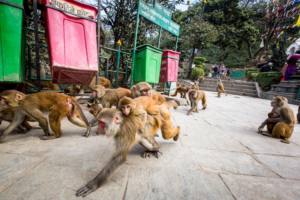 Monkey Temple Monkeys-1.jpg