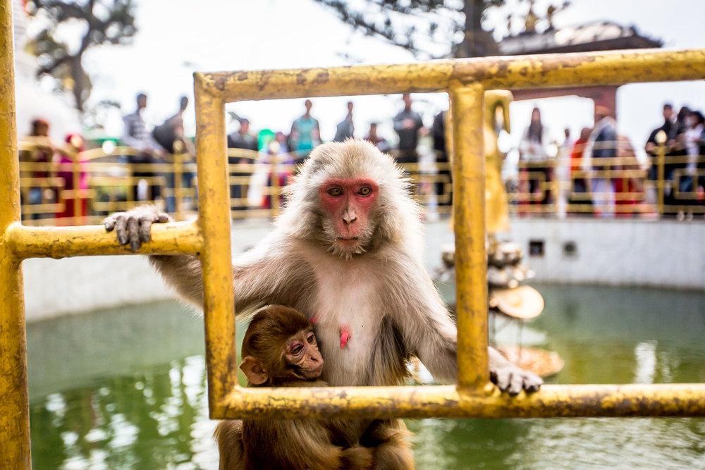 Monkey Temple Monkeys-3.jpg