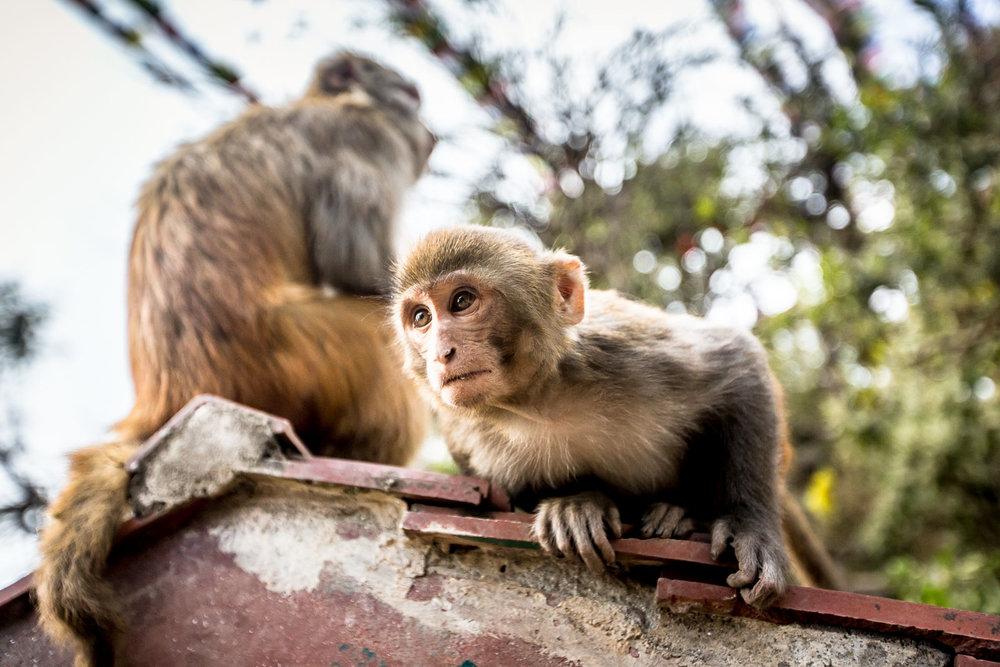 Monkey Temple Monkeys-4.jpg