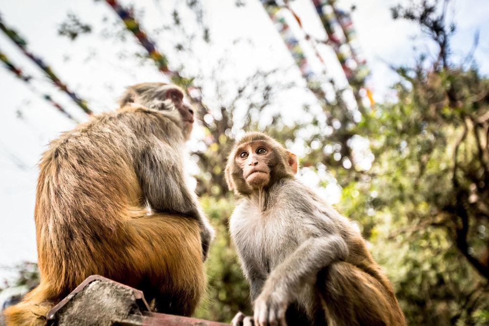Monkey Temple Monkeys-5.jpg