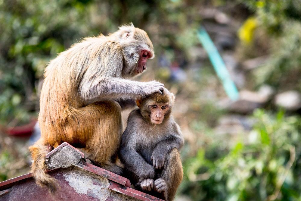 Monkey Temple Monkeys-6.jpg