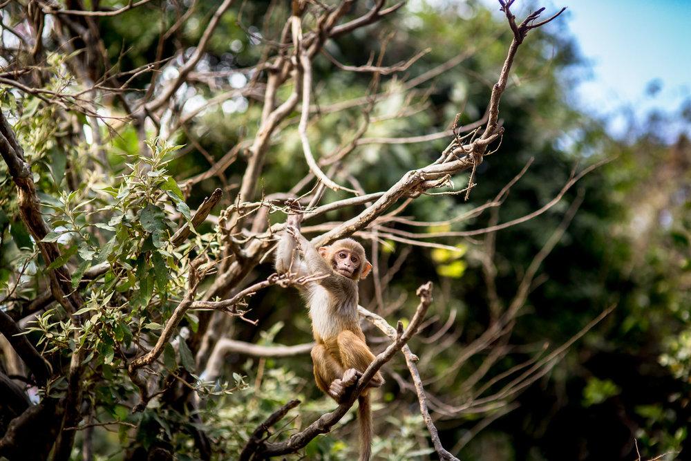 Monkey Temple Monkeys-7.jpg