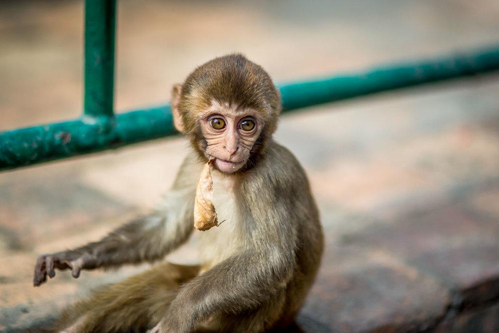 Monkey Temple Monkeys-9.jpg