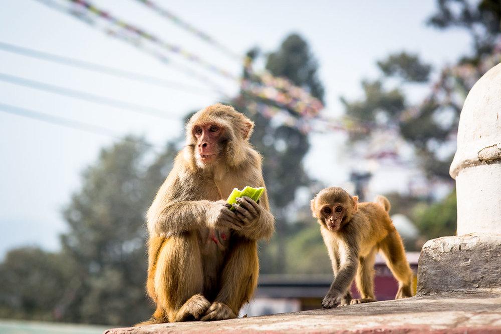 Monkey Temple Monkeys-10.jpg