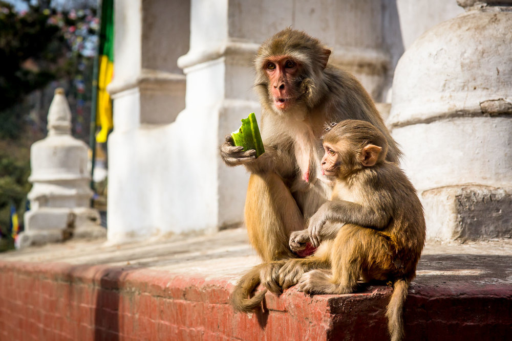 Monkey Temple Monkeys-11.jpg
