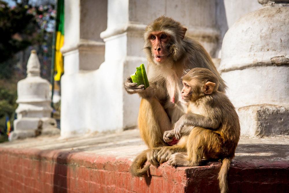 Monkey Temple Monkeys-11.jpg