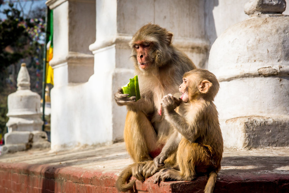 Monkey Temple Monkeys-12.jpg