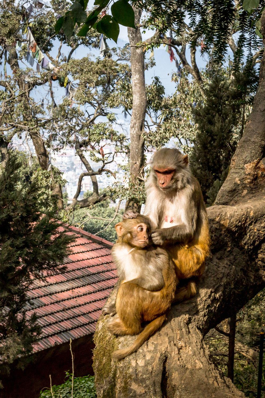 Monkey Temple Monkeys-13.jpg