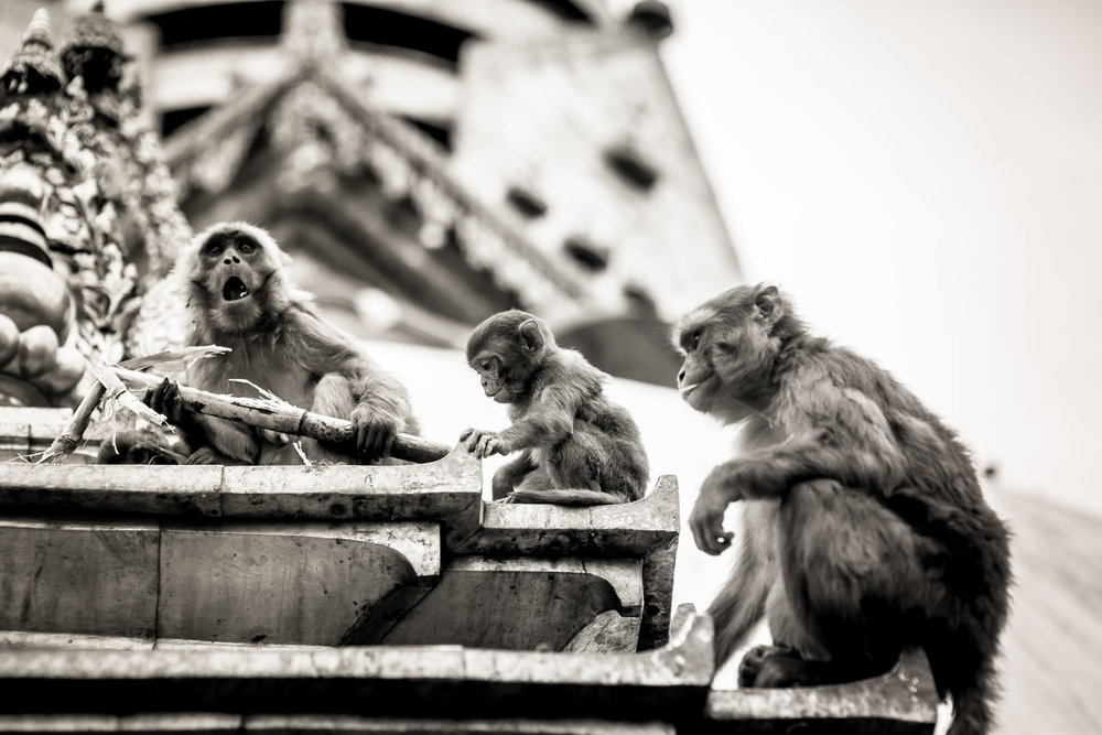 Monkey Temple Monkeys-15.jpg