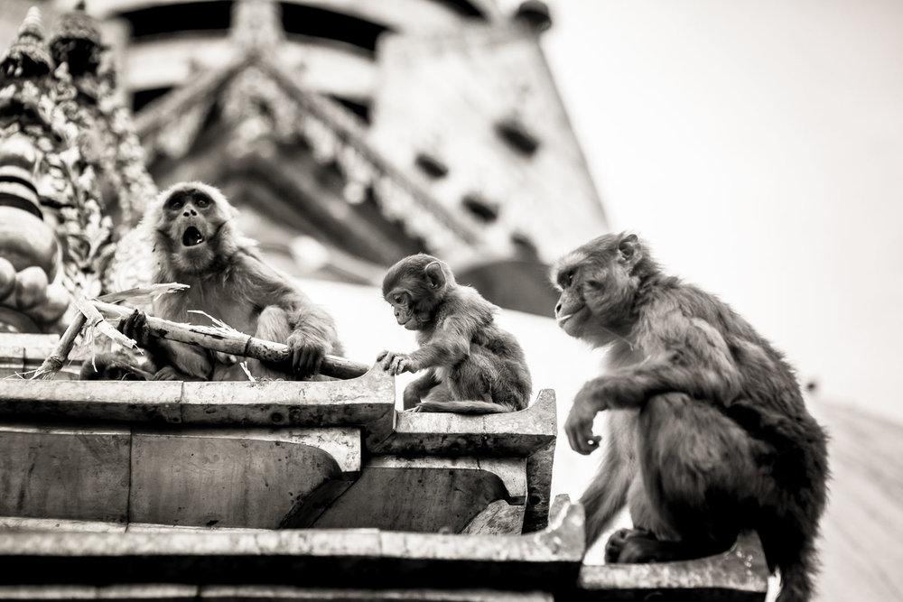 Monkey Temple Monkeys-15.jpg