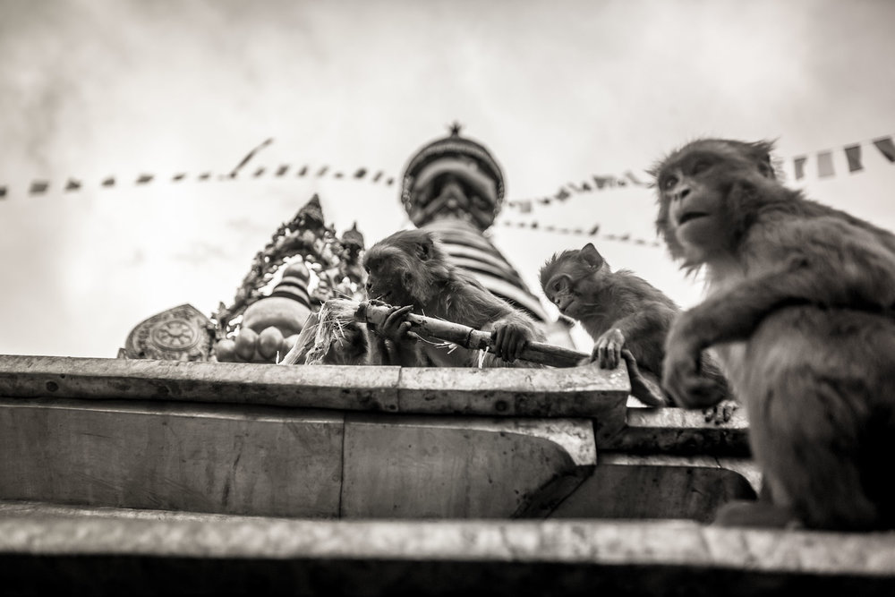 Monkey Temple Monkeys-16.jpg