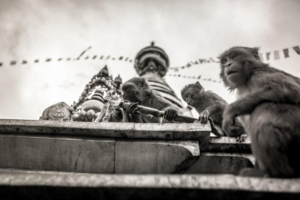 Monkey Temple Monkeys-16.jpg