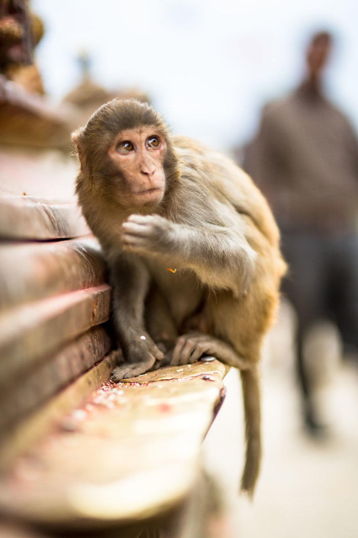 Monkey Temple Monkeys-19.jpg