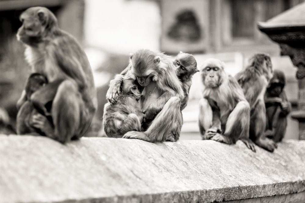 Monkey Temple Monkeys-21.jpg