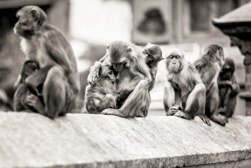Monkey Temple Monkeys-21.jpg