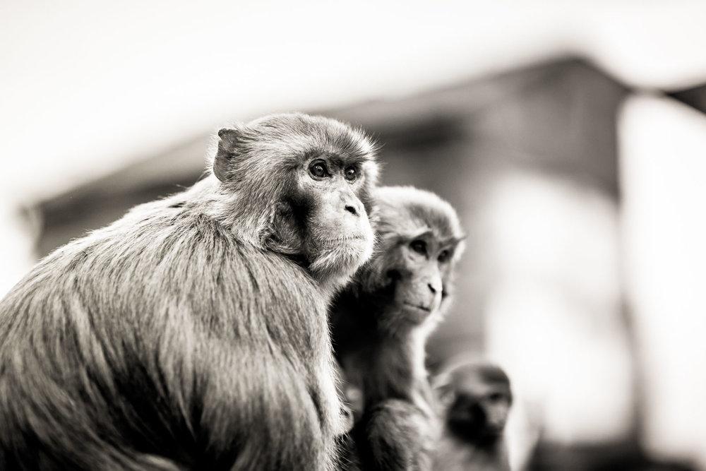 Monkey Temple Monkeys-23.jpg