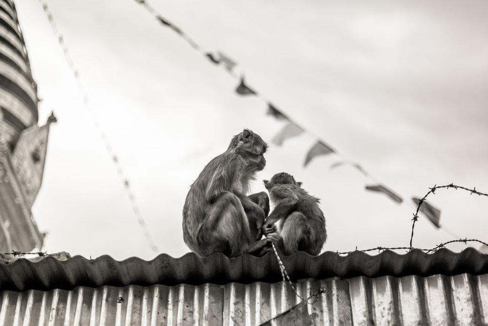 Monkey Temple Monkeys-25.jpg