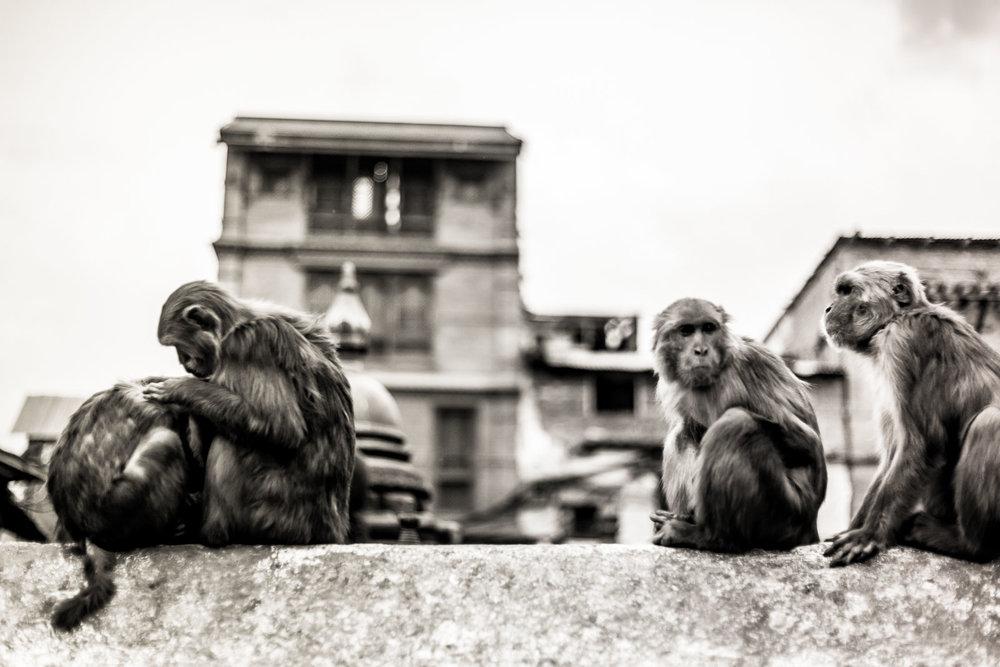 Monkey Temple Monkeys-24.jpg